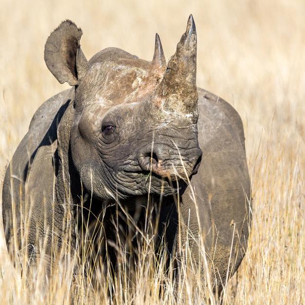 black-rhinoceros