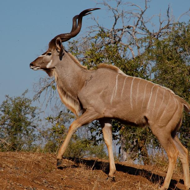 male-greater-kudu